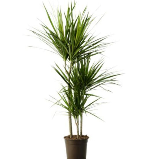 Dracaena marginata from ikea indoor plants house plants plants photo gallery - Popular indoor plants ...