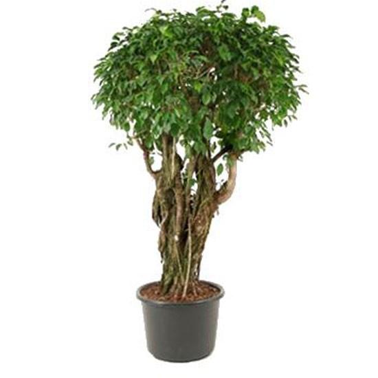 Ficus Columnar From Indoor Plants