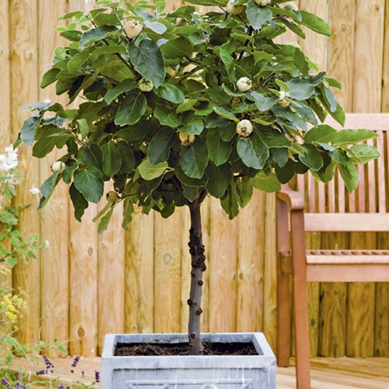 Get fruit all summer long from a smart citrus tree