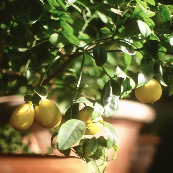 The lemon tree was brought to Europe in the 16th century, but the plant's origin remains a mystery