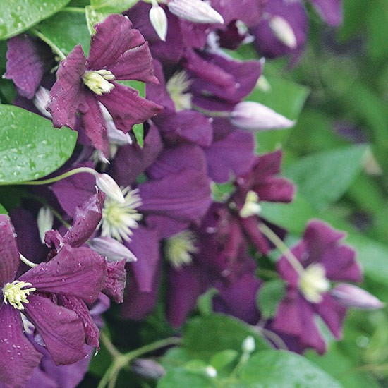 Clematis &#039;Etoile Violette&#039; produces deep purple flowers from July to September