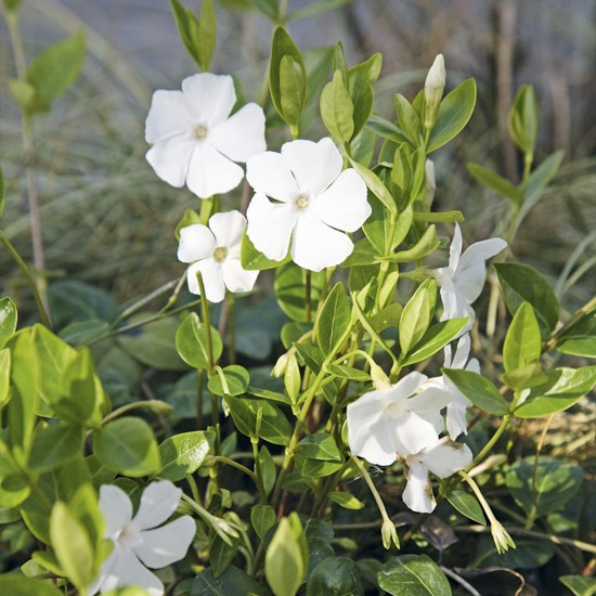 Vinca minor 'Gertrude Jekyll' is low maintenance and will help prevent weeds