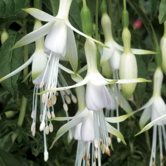 Fuchsia 'Hawkshead' can survive outside in a sheltered position