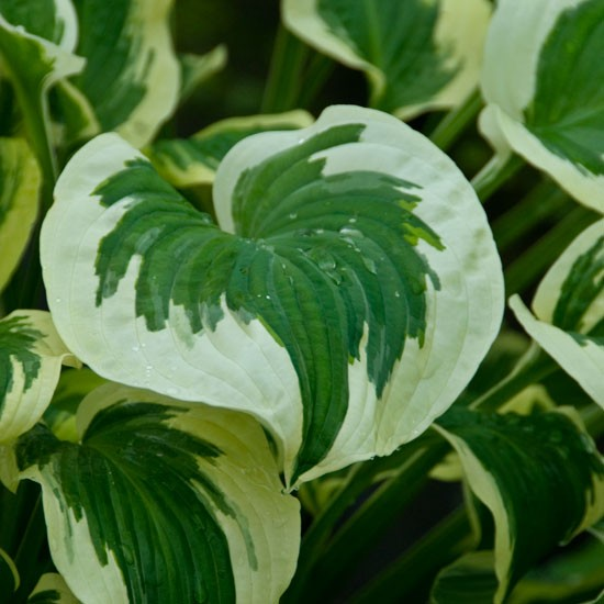 Garden with ease | Hostas | In season | Garden idea | Homes & Gardens | Housetohome | PHOTOGALLERY