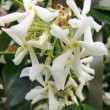 Trachelospermum jasminoides is a good choice for a basement flat garden