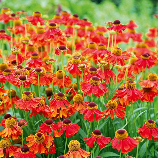 Helenium Moerheim Beauty Best Plants To Buy