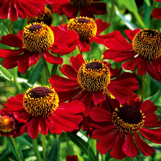 Helenium Rubinzwerg Best Plants To Buy