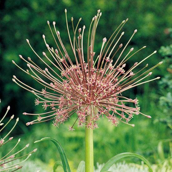 Allium schubertii from Van Meuwen | Best garden bulbs for spring | Garden | Housetohome