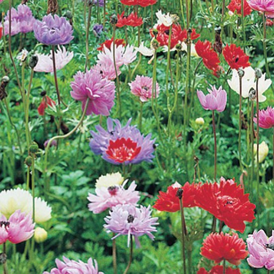 Anemone St Brigid from De Jager | Best garden bulbs for spring | Garden | Housetohome