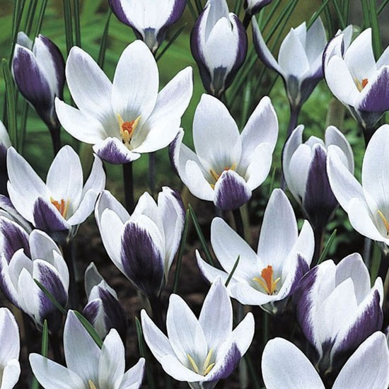 Crocus chrysanthus 'Ladykiller' from Crocus | Best garden bulbs for spring | Garden | Housetohome