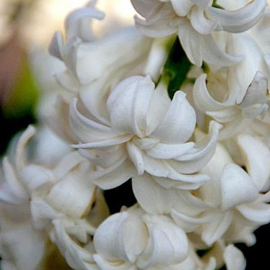 Hyacinth Madame Sophie from Peter Nyssen | Best garden bulbs for spring | Garden | Housetohome