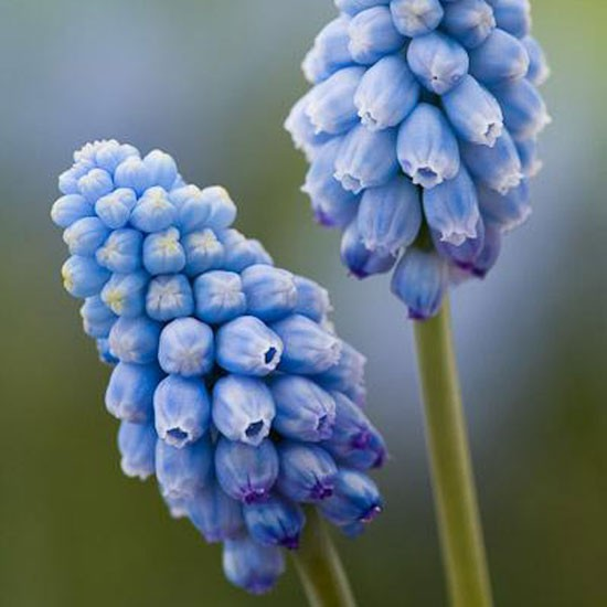 Muscari 'Valerie Finnis' from Sarah Raven | Best garden bulbs for spring | Garden | Housetohome