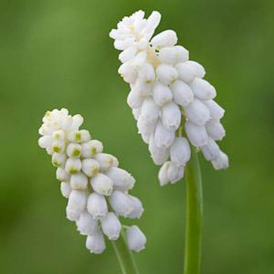 Muscari armeniacum ?Venus? from Sarah Raven | Best garden bulbs for spring | Garden | Housetohome