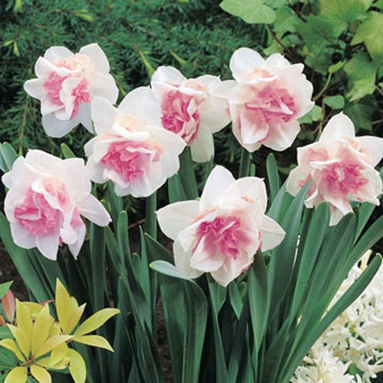 Narcissus pink daffodil from Thompson & Morgan | Best garden bulbs for spring | Garden | Housetohome