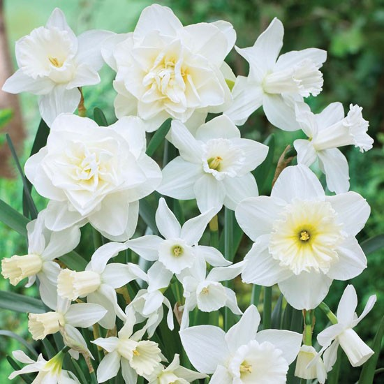 Narcissus white diamonds from Thompson & Morgan | Best garden bulbs for spring | Garden | Housetohome