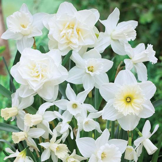 Narcissus white diamonds from Thompson & Morgan | Best garden bulbs for spring | Garden | Housetohome