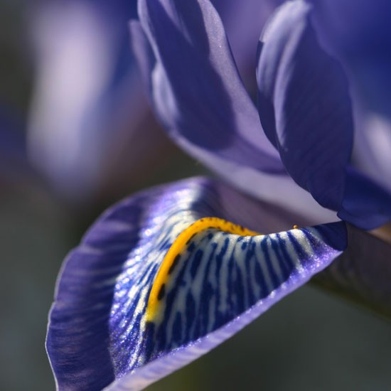 Iris 'Angels Tears' from Avon Bulbs | Best garden bulbs for spring | PHOTO GALLERY | Housetohome