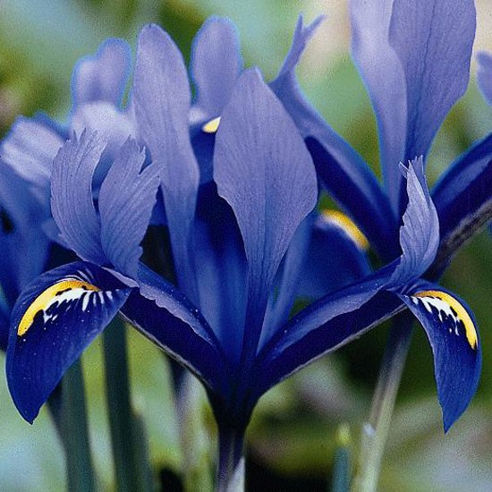 Iris reticulata 'Harmony' from Avon Bulbs | Best garden bulbs for spring | PHOTO GALLERY | Housetohome