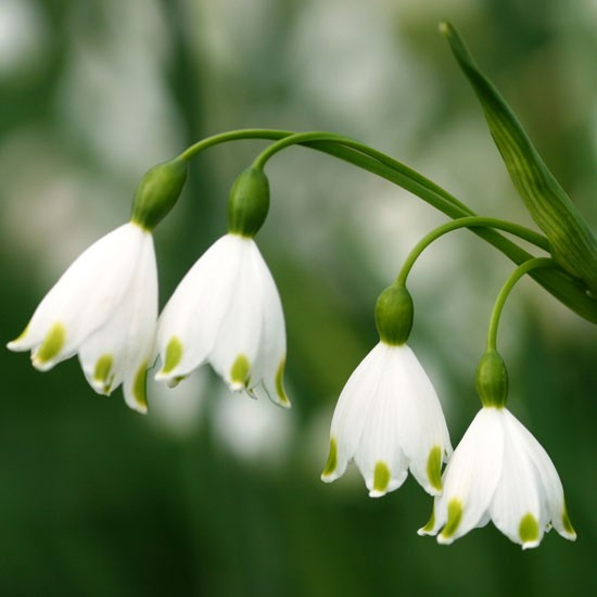 Leucojum aestivum 'Gravetye Giant' from Avon Bulbs | Best garden bulbs for spring | PHOTO GALLERY | Housetohome