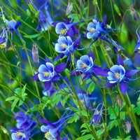 In season: aquilegia