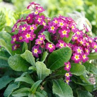 In season: primulas
