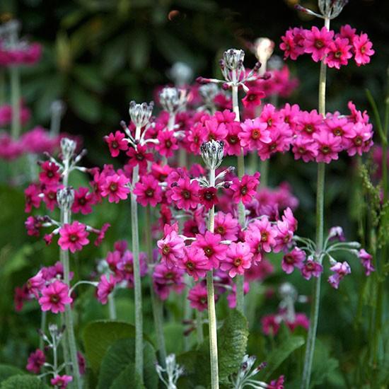 Candelabra Primulas In Season Primulas Housetohome Co Uk