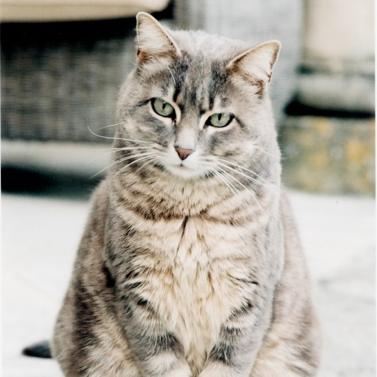 Large tabby cat with this coat and green eyes.