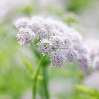 In season: umbellifers
