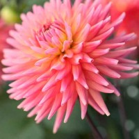 In season: dahlias