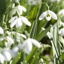 Top spots for snowdrops
